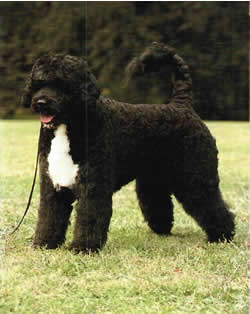 portuguese-water-dog1