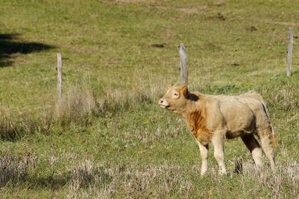 Jeune veau dans un champ