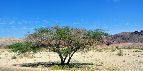 Accacia tree in Unique park Timna, Israel